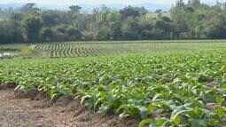 98% das famílias que plantam fumo no Brasil, já fizeram a troca das mudas para as lavouras