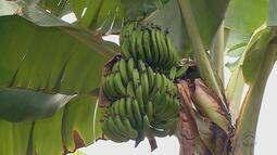 Produtores de Santa Catarina têm prejuízo de 30% em bananas
