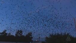 Milhares de andorinhas chamam atenção de moradores de Vilhena