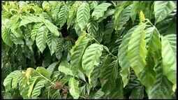 Incaper desenvolve nova forma de reprodução de café conilon em Marilândia, ES