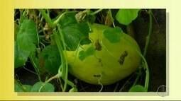 Inter TV Rural relembra caso do melão gigante de 5kg enviado por telespectador; confira
