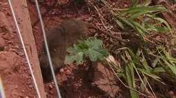 Moradores de Águas Claras estão incomodados com a quantidade de ratos em obra abandonada