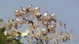 Globo Natureza: Ninhais do Pantanal