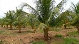 Cultivo de coco verde cresce em Apodi, RN