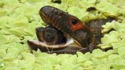 O jacuruxi (Dracaena guianensis) é um lagarto semiaquático amazônico.