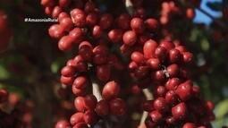 Parte 1: Rondônia inicia colheita de café