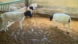Parte 2: Veja como é feita produção de ovinos e caprinos no AM