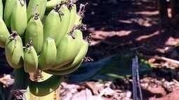 Produtores investem em irrigação para produzir banana