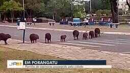 Família de capivaras foram flagradas atravessando em faixa de pedestre em Porangatu