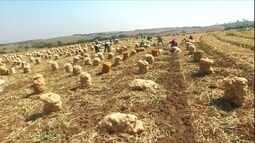 Preço da cebola cai em parte da região Sudeste