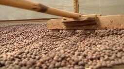 Linhares e Iúna lideram a produção de café conilon e arábica no ES