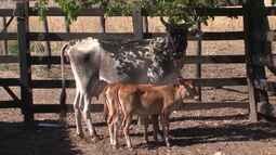 Fenômenos raros: vacas parem bezerros gêmeos idênticos em uma mesma época