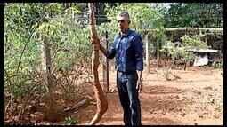 Mandioca com quase 3 metros de comprimento é colhida em Araxá