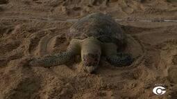 Tartaruga é encontrada morta no Litoral de Maceió