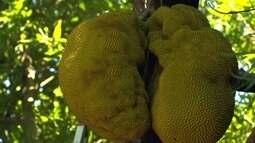 Em época de colheita, produtores diversificam vendas com a jaca