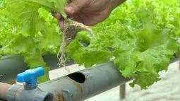 Fazendeiros apostam em hidroponia para aumentar produções em Divinópolis