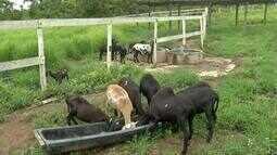 Campanha de vacinação contra a raiva para cavalos, mulas, ovinos e caprinos é prorrogada