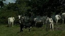 Nova técnica de manejo do rebanho bovino é apresentada para vaqueiros do Norte de Alagoas