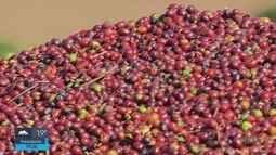 Levantamento do IBGE aponta que Brasil vai fechar 2018 com safra recorde de café