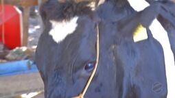 Raiva mata bovinos em fazenda de Alta Floresta