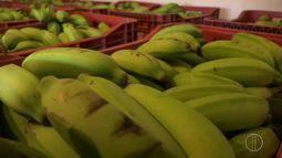 Produção de banana já é considerada de médio porte no Norte Fluminense