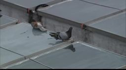 Saiba como afastar os pombos das áreas residenciais