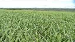 Sorgo é opção para cultivo de segunda safra em MT