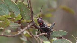 Infestação de gafanhotos assusta produtores na zona rural de Coração de Jesus