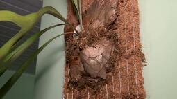 Coco que iria para o lixo vira vaso ecológico
