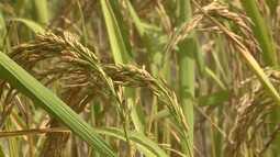 Agricultores estimam colheita de arroz 24% menor no Maranhão em 2019