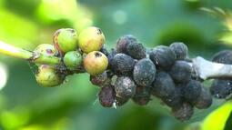 Clima compromete a safra de café no Paraná