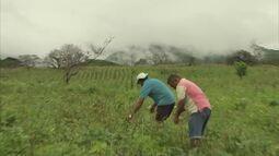 Produtores de milho aminados com a colheita- produto muito usado nas festas juninas