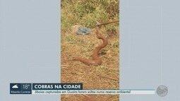 Jiboias são achadas dentro de buraco feito por corujas em Guaíra, SP