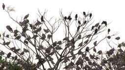 Neste sábado conheça os pombos, animais que já foram considerados praga urbana