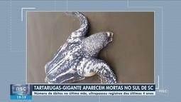 Mortes de tartarugas-gigantes preocupam pesquisadores do Sul de Santa Catarina