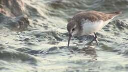 Como vivem as aves migratórias passam pelo Maranhão em busca de alimento