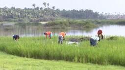 Lavradores do interior do Maranhão produzem arroz para consumir ao longo do ano