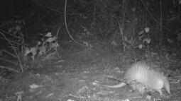 Câmera trap flagra tatu-galinha captando folhas para forrar a toca