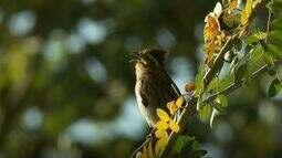 Saci é uma ave muito mais escutada do que vista