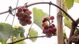 Produtores apostam em uvas em Linhares, ES