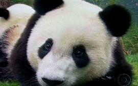 Você sabia que o Urso Panda é vegetariano?