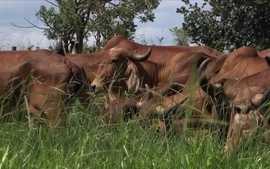 Pesquisador explica como criar vacas leiteiras no pasto em propriedades pequenas