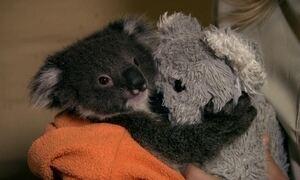 Coala órfão ganha ursinho de pelúcia para diminuir ausência da mãe