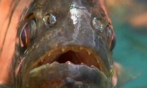 Ataques de piranhas afastam banhistas no Rio Grande, em SP