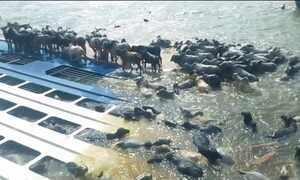 Capitania dá 15 dias para retirarem barco que afundou com bois no Pará