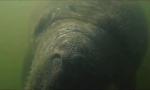 Santuário Ecológico preserva peixe-boi
