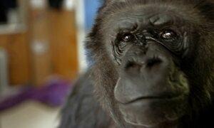 Gorila que conversa com humanos e cuida de gatinhos completa 45 anos