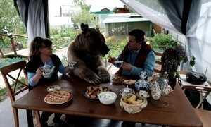 Urso-pardo de estimação come na mesa, assiste à TV e até joga bola