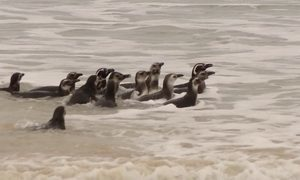 Pinguins longe do frio