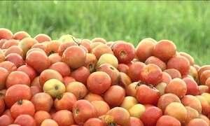 Agricultores jogam tomate fora: produção aumentou e preço desabou